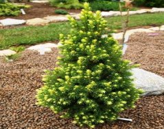 Ель: Picea (ель) glauca Rainbow`s End
