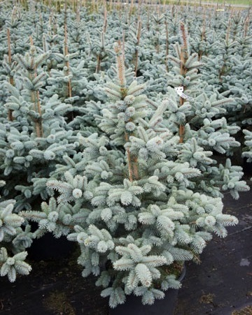 Ель: Picea pungens 'Oldenburg'